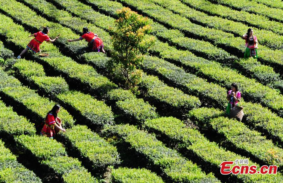 Oolong tea picking starts in southwestern county